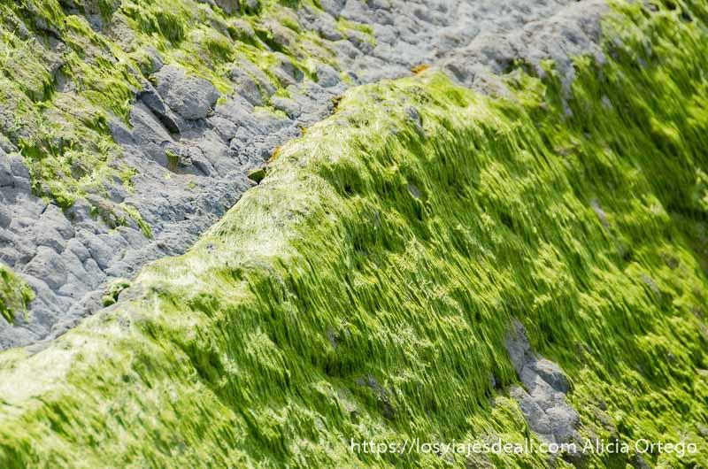 rocas semicubiertas de algas verde intenso en flysch