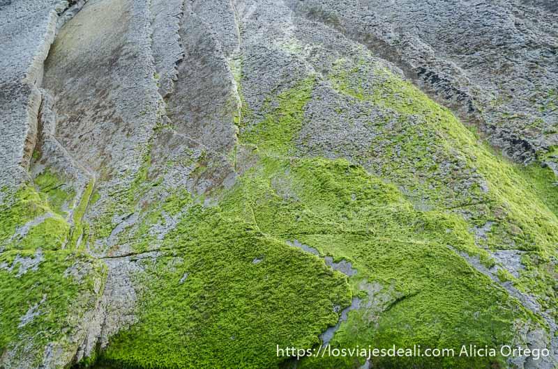 pared de flysch de roca gris medio cubierta por musgo verde cerca de zumaia