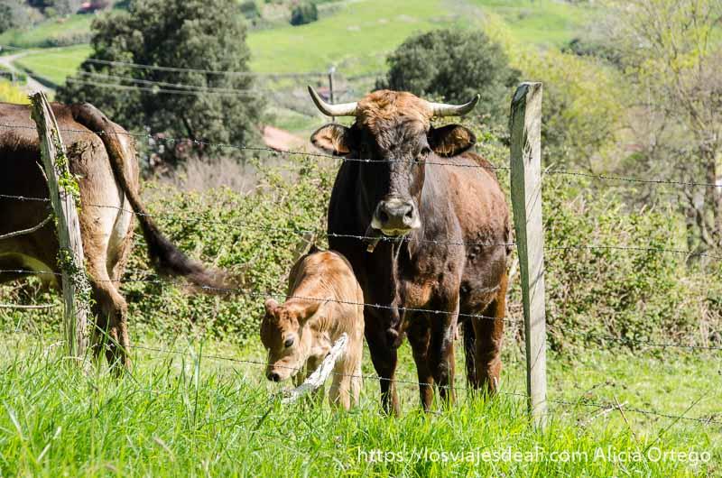 vaca con ternero en un prado qué ver en getaria y alrededores