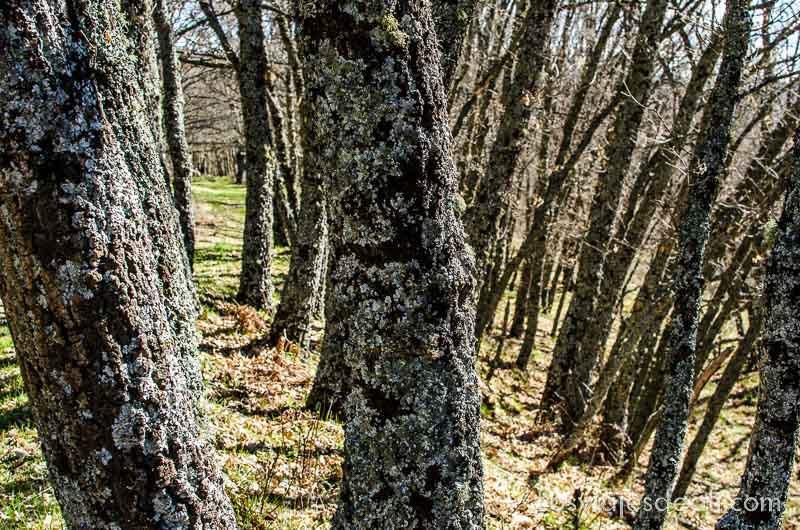 troncos de árboles cubiertos de musgo senderismo fácil en la sierra del rincón