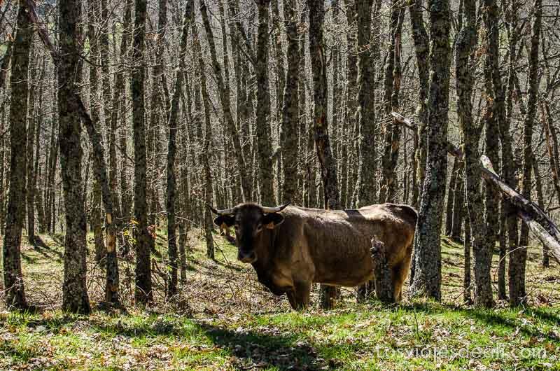 vaca mirando a la cámara entre árboles del bosque senderismo fácil en madrid