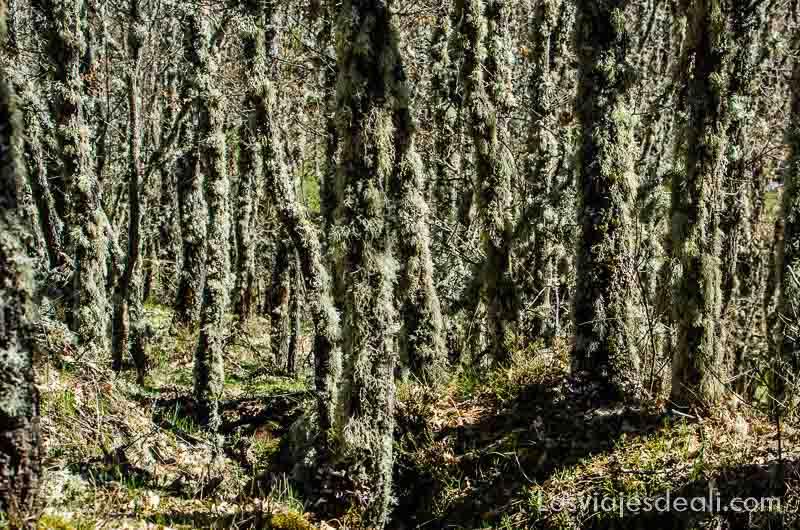 bosque tupido de troncos cubiertos de musgo senderismo fácil en la sierra de madrid