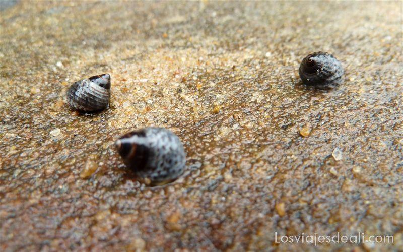 tres bígaros o caracoles de color oscuro sobre una roca mojada por el agua del mar
