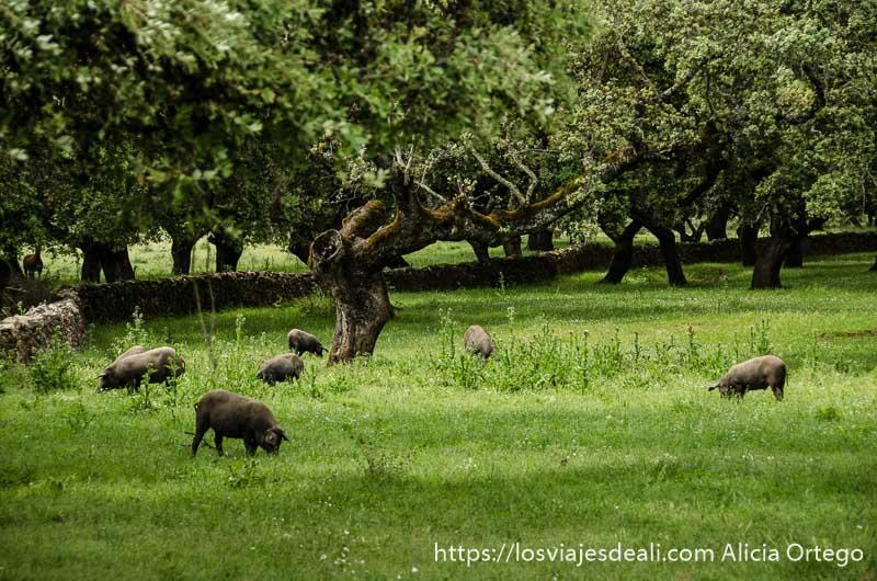 cerdos ibéricos paciendo bajo encinas gastronomía extremeña