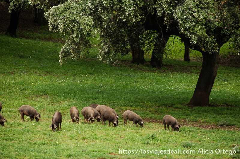 grupo de cerdos ibéricos bajo una gran encina gastronomía extremeña