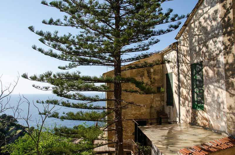 gran árbol tipo pino junto a casa de piedra ruta por los pueblos de la tramontana