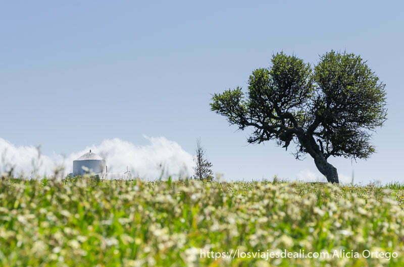 campo de flores y en el horizonte un árbol a la derecha y una ermita blanca a la izquierda en naxos