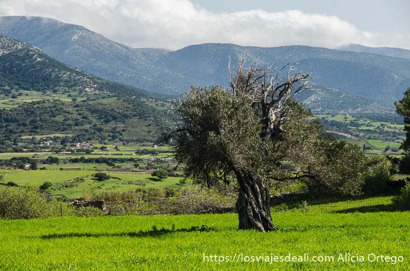 olivo milenario en medio de campo verde con montañas detrás en la isla de naxos