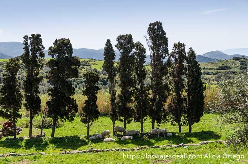 fila de árboles en un campo verde senderismo y arqueología en la isla de naxos