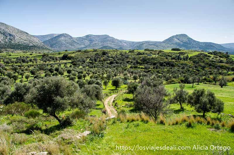 camino que serpentea entre olivos en la isla de naxos