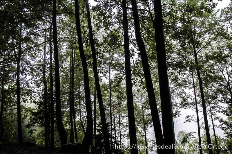 árboles muy altos a contraluz con niebla carreteras del himalaya indio
