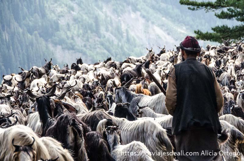 pastor con rebaño de cabras invadiendo la carretera en cachemira