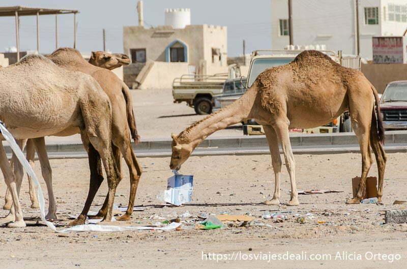 camellos comiendo cartón en un pueblo de omán