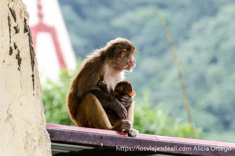 babuino con su bebé en la barandilla del balcón mirando al río