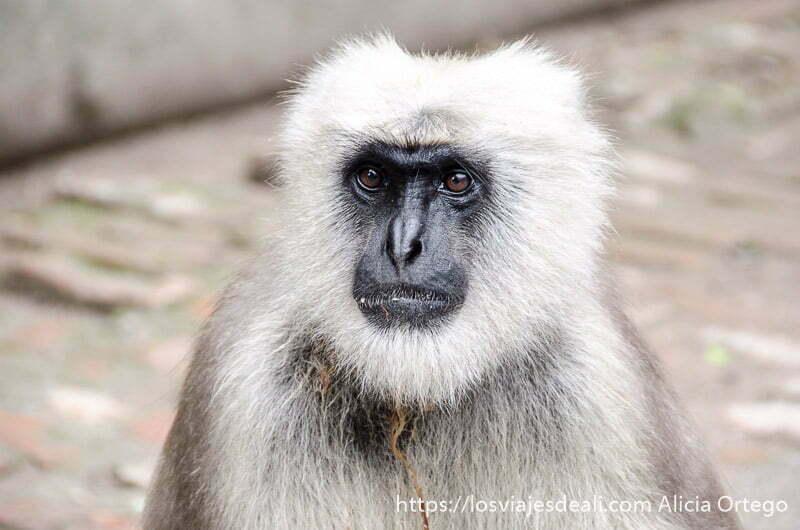 babuino muy de cerca con cara negra y pelos blancos en rishiskesh