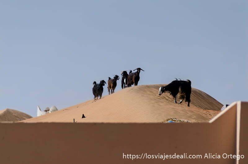 grupo de cabras negras en lo alto de una duna desiertos de oman
