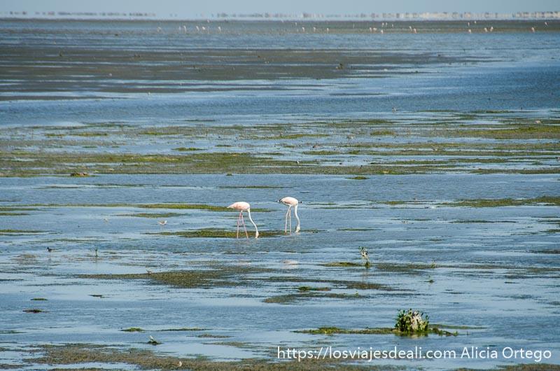 dos flamencos comiendo en el agua llena de algas en omán