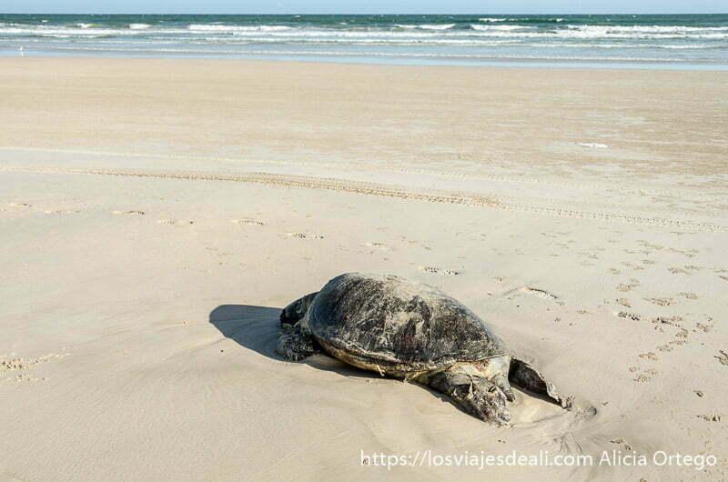 cadáver de tortuga en la playa desiertos de omán