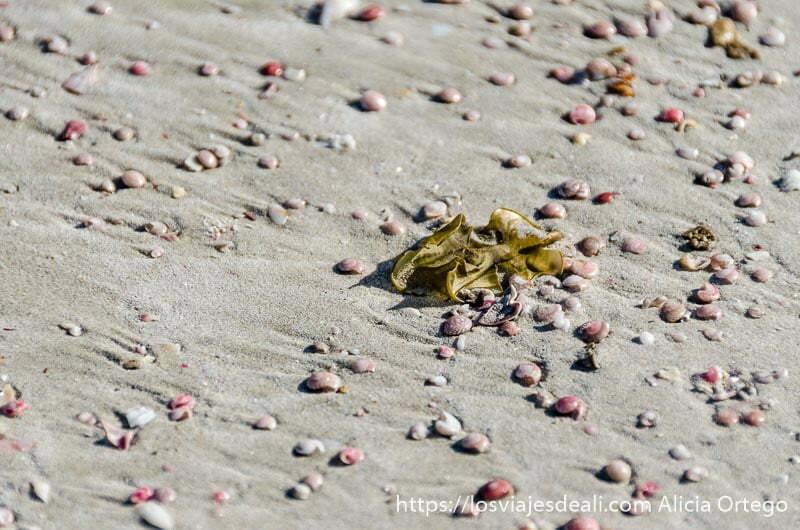 conchitas de color rosa en la arena de la playa en omán
