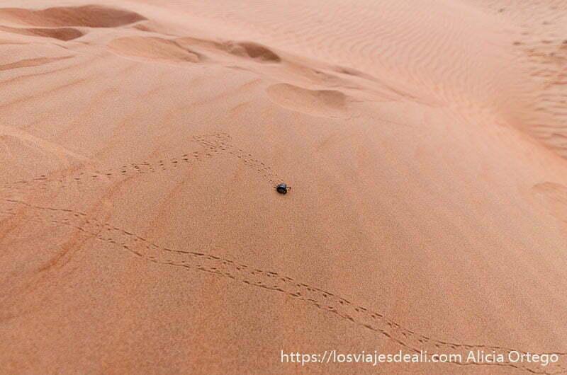 escarabajo andando por la superficie de una duna desiertos de oman