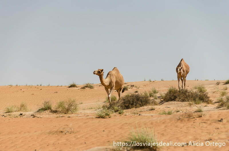 dos camellos andando por el desierto en omán