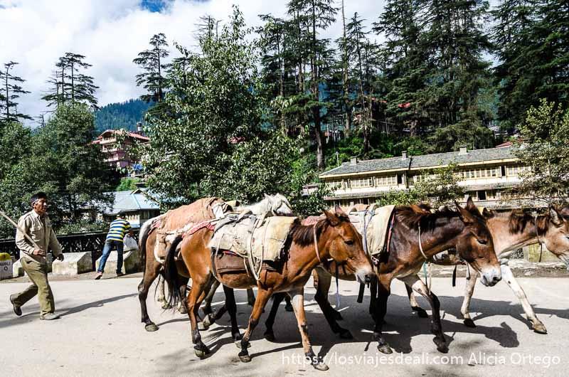 un hombre conduciendo tres caballos que ver en manali