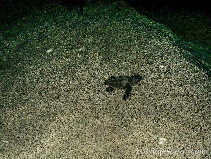 tortuga recién nacida en playa de Masirah