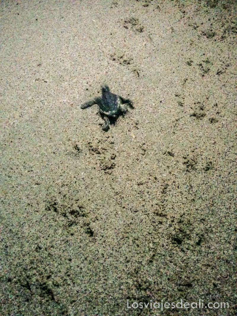 tortuga en playa de Masirah