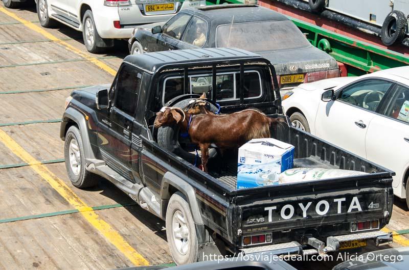 cabra en la parte trasera de pick up en el ferry a masirah
