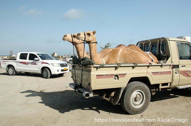 dos camellos sentados en parte trasera de pick up y atados para transporte en masirah