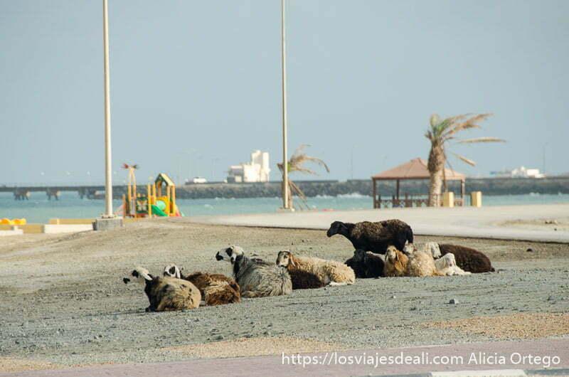 6 ovejas tumbadas junto al mar en masirah