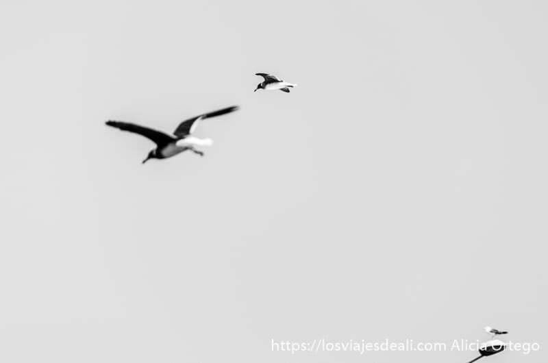 gaviotas volando en masirah