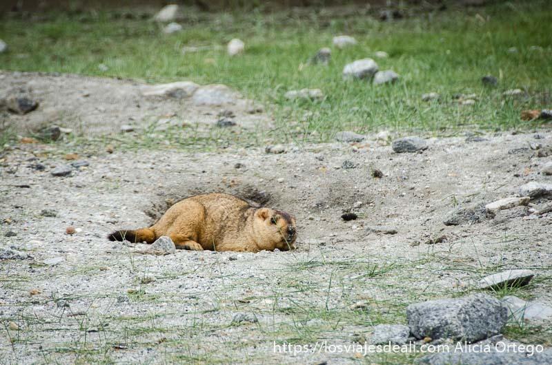 marmota en un campo cerca del lago pangong