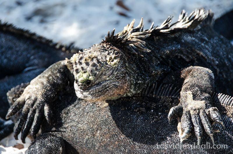 galápagos iguana marina