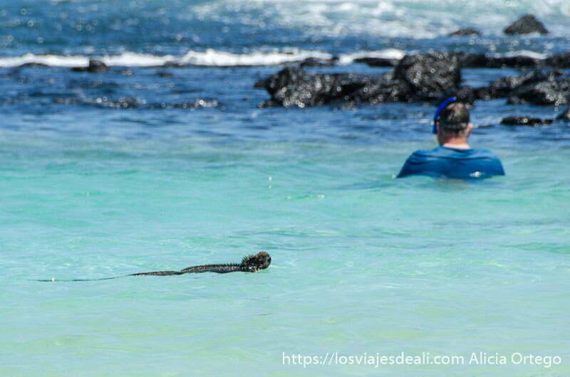 bañista con gafas de snorkel en el agua y una iguana marina nadando junto a él islas gaalápagos