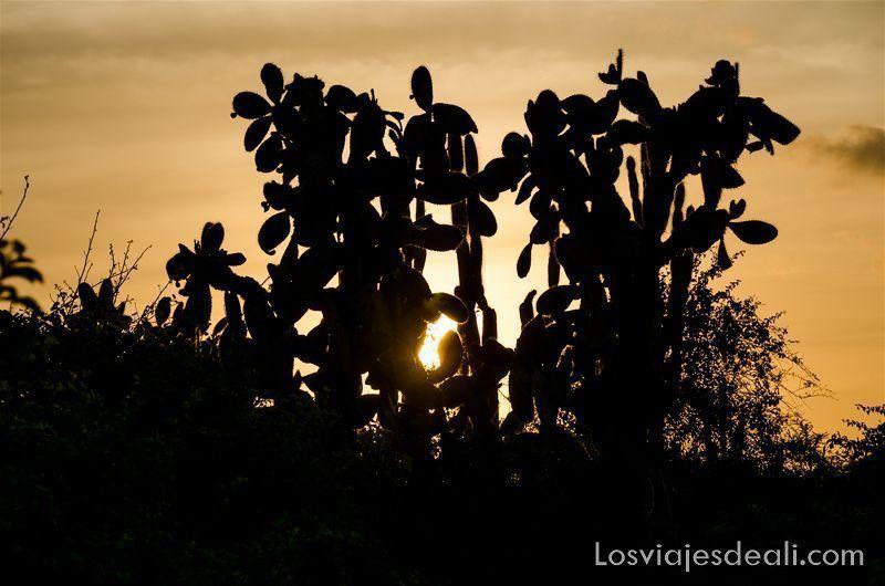 cactus opuntias de islas galápagos
