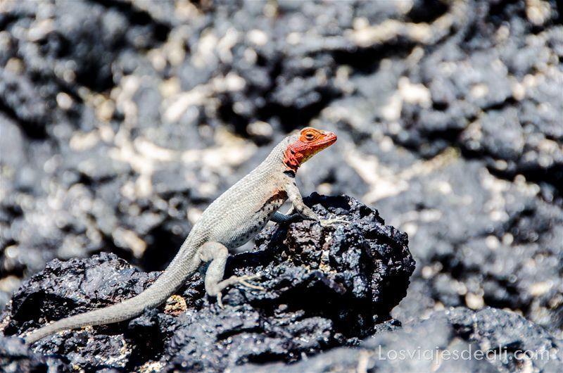 lagartija volcánica de islas galápagos