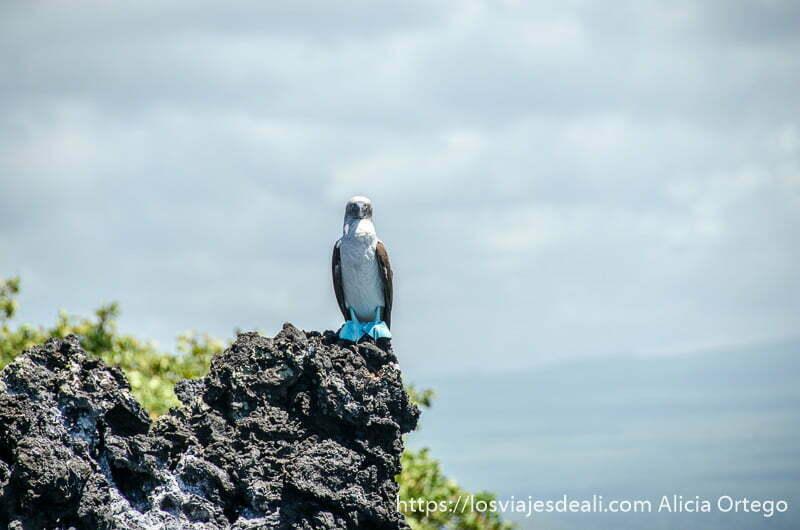 piquero de patas azules sobre una roca mirando de frente islas galápagos