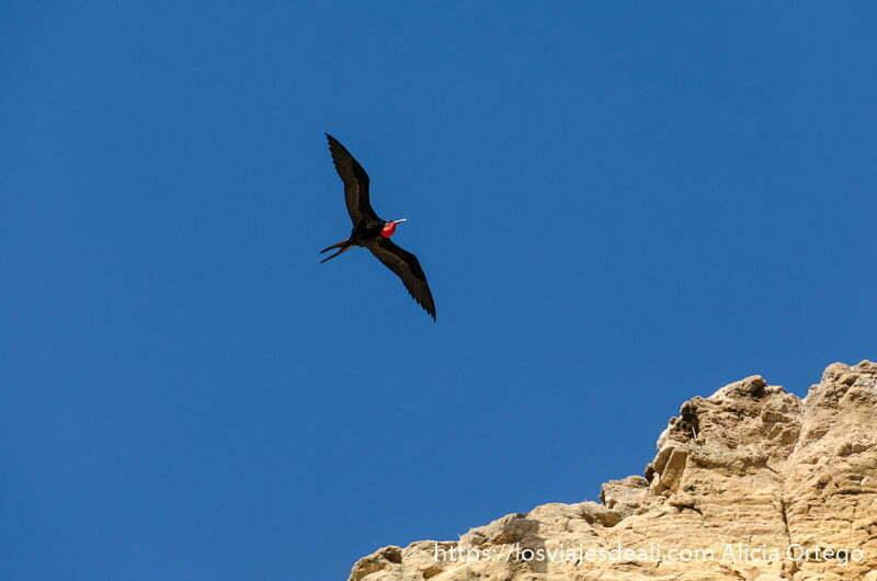 ave negra con bolsa roja hinchada en el cuello llamada tijereta en isla san cristóbal