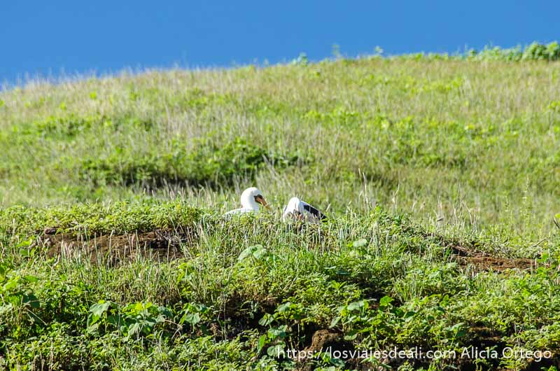 pájaros con cabeza blanca y pico negro en isla san cristóbal