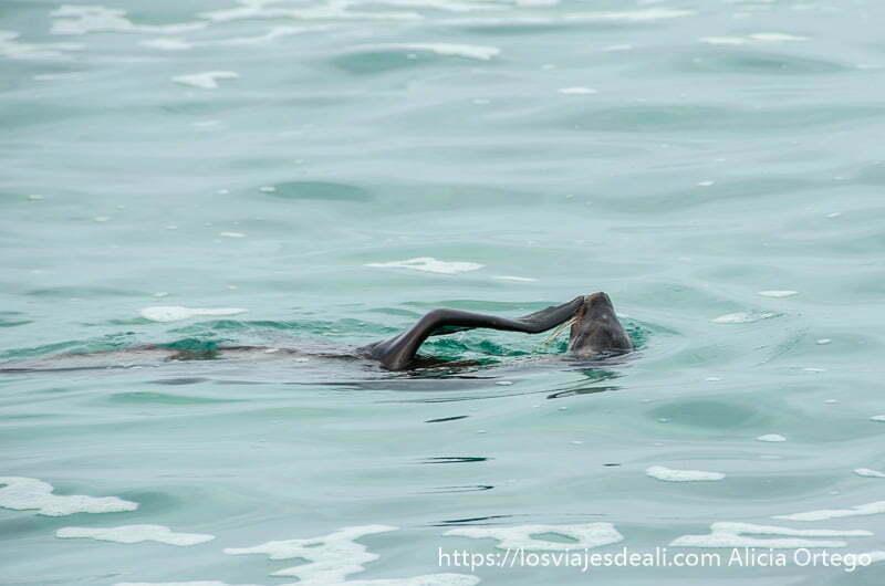 león marino nadando de espaldas con una aleta en la boca isla san cristóbal galápagos