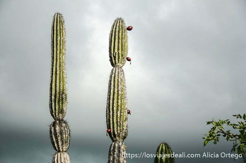 dos grandes cactus uno con bolas rojas en isla san cristóbal galápagos
