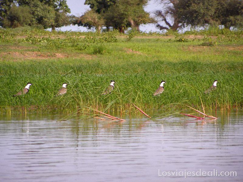 un pueblo del río niger aves