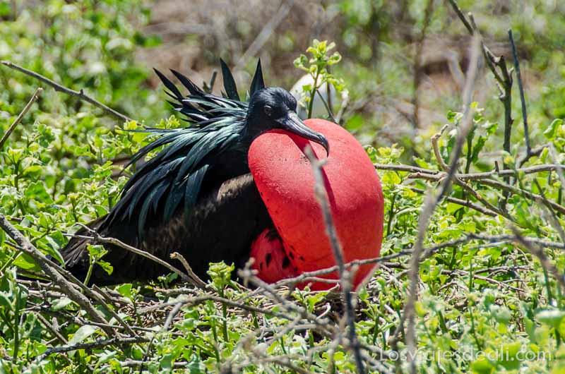 fauna y flora de las islas galápagos fragata real