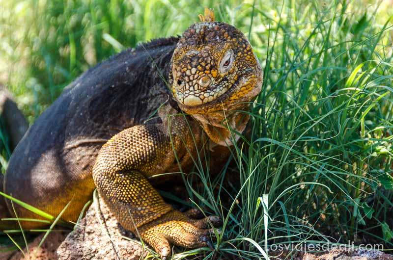 fauna y flora de las islas galápagos iguana amarilla