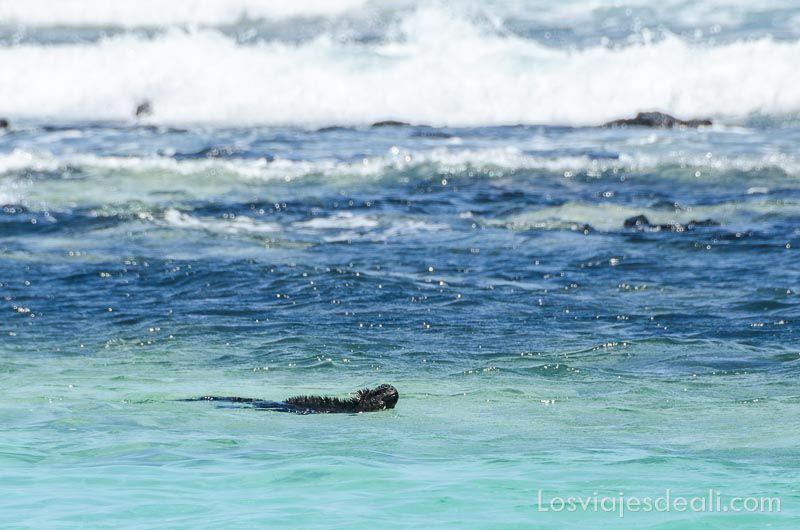 fauna y flora de las islas galápagoss iguana amarilla