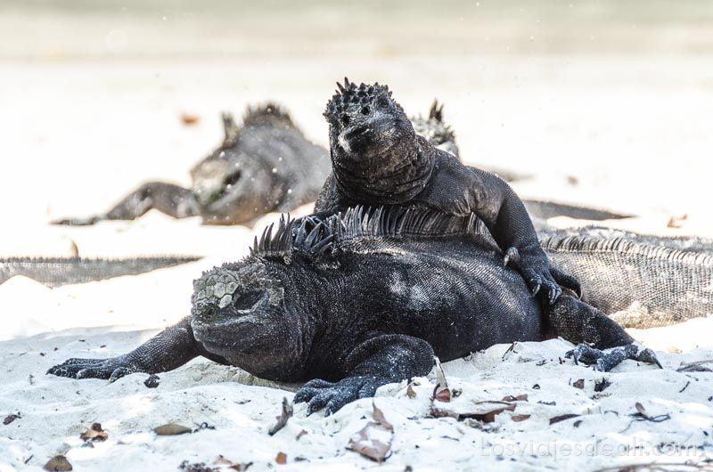 fauna y flora de las islas galápagos iguana