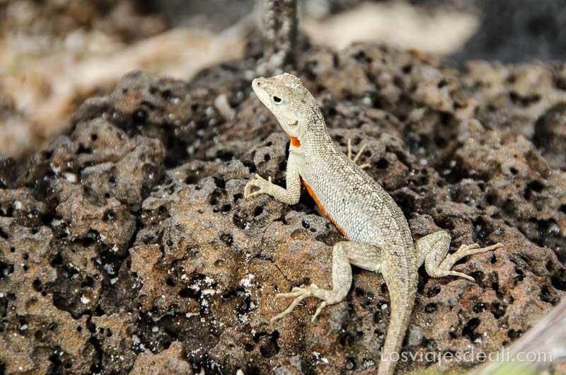 fauna y flora de las islas galápagos lagartija lava