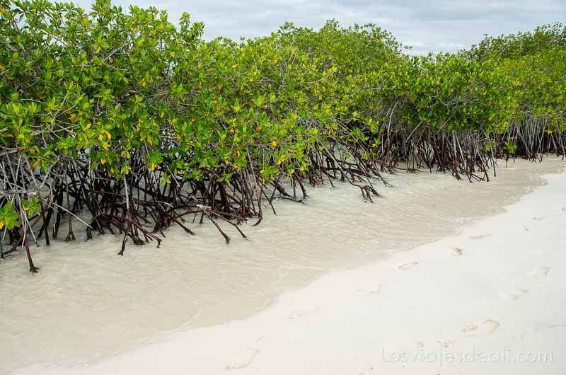 fauna y flora de las islas galápagos manglares