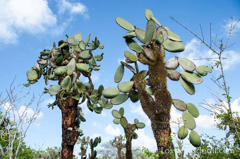 fauna y flora de galápagos opuntias